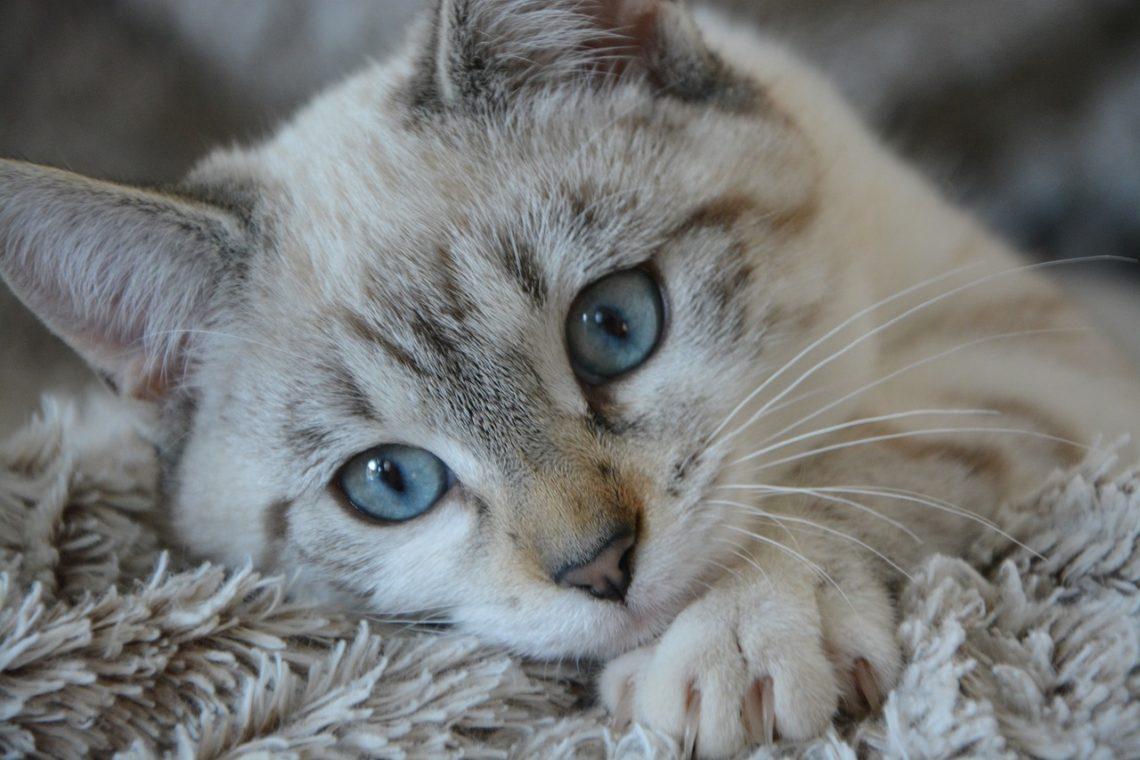 Zen Katze